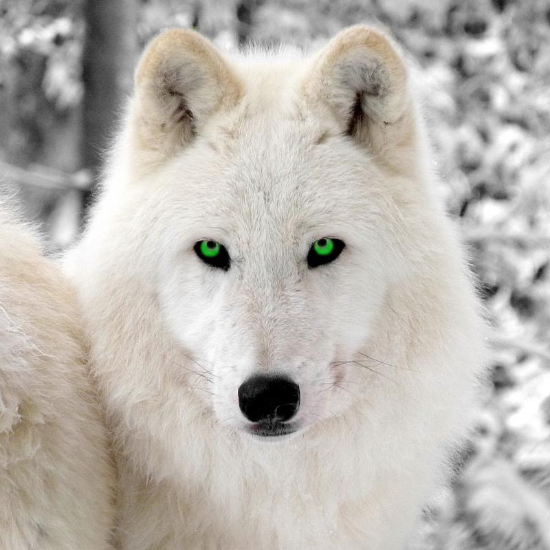 Волк с зелеными глазами фото