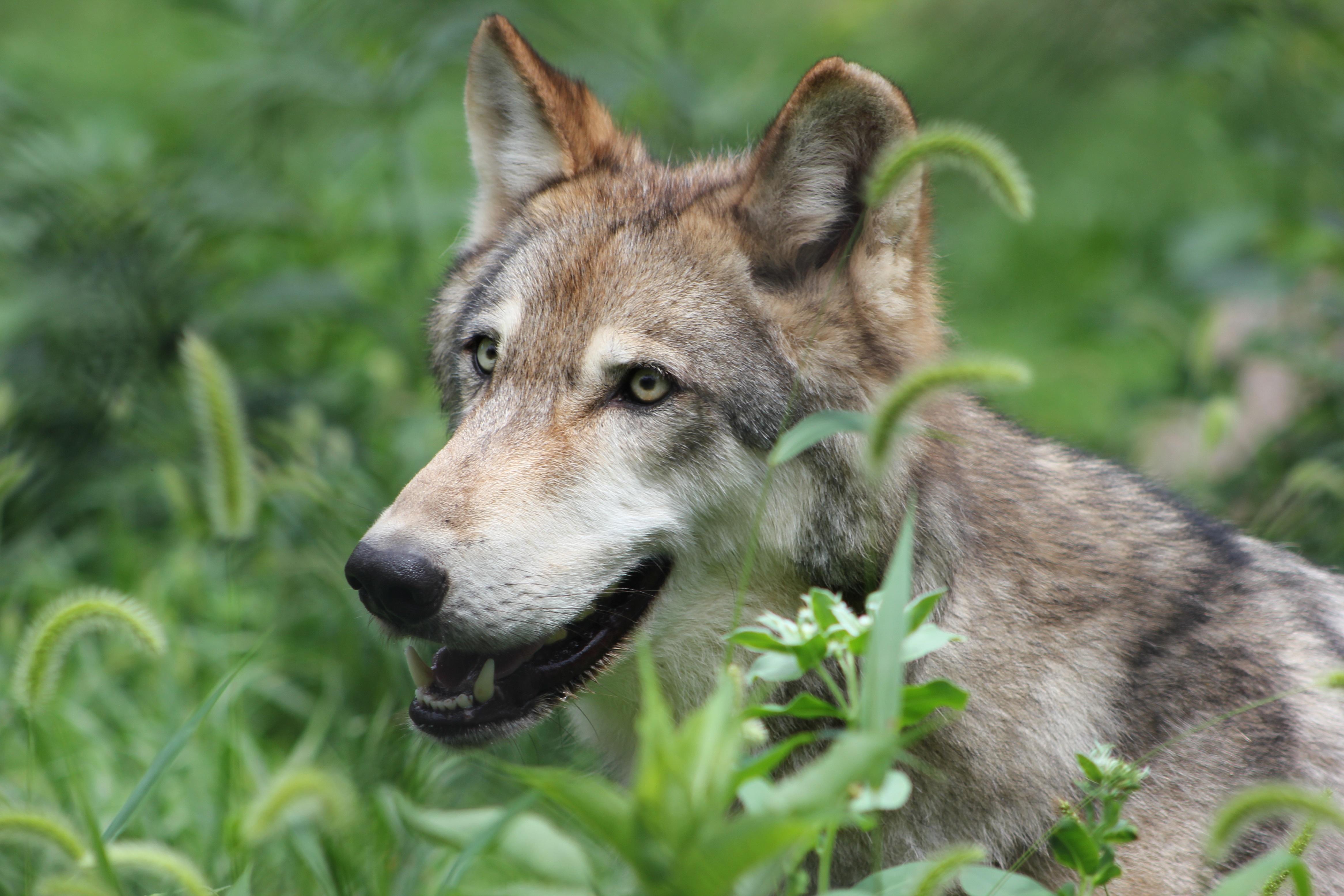 сегодня радостный волк картинки самых красивых мест