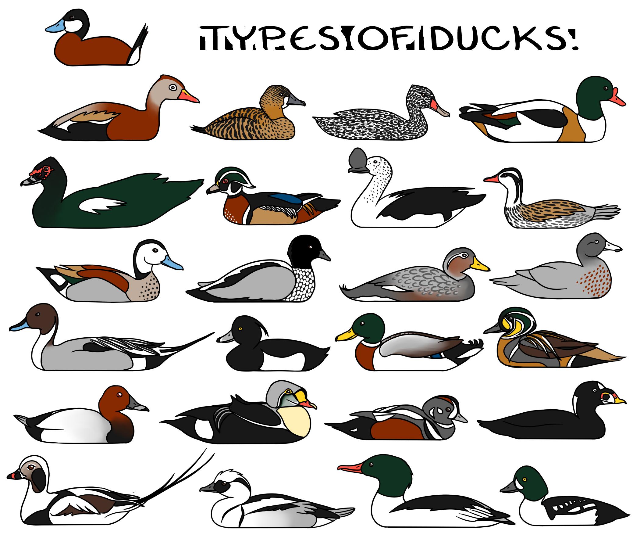 types of ducks weasyl