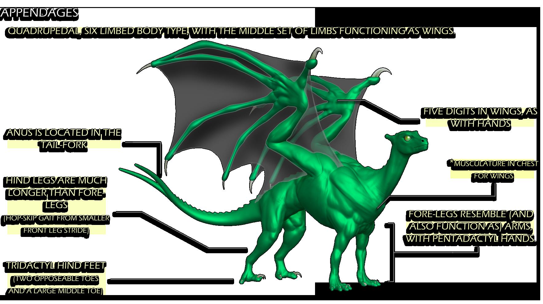 Pernese Dragon Anatomy Study Weasyl