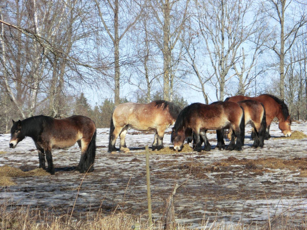 Nordsvenska Hastar North Swedish Drafthorses 2 Weasyl