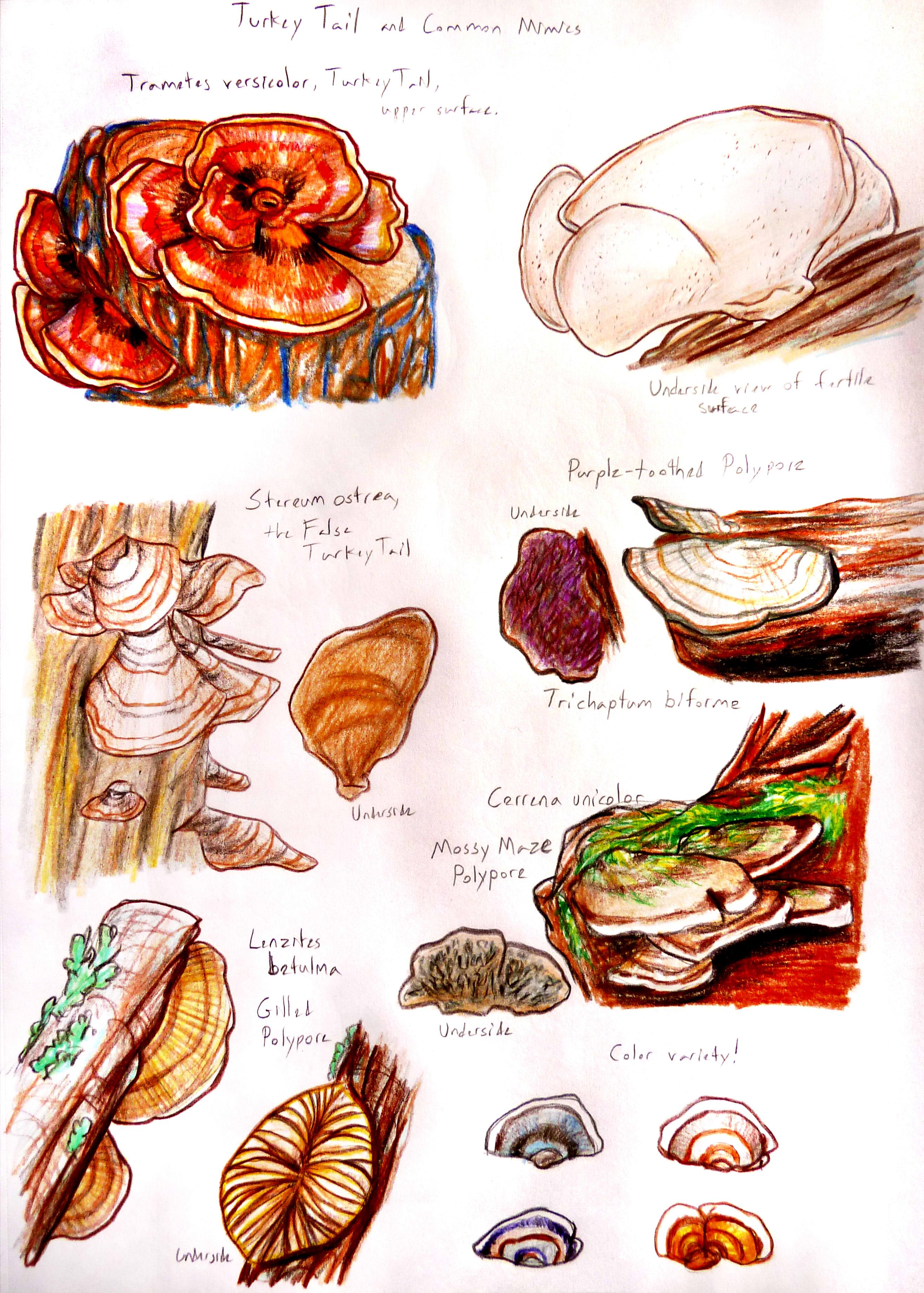 Mushroom Guidesheet #4--Turkey Tail and Mimics — Weasyl