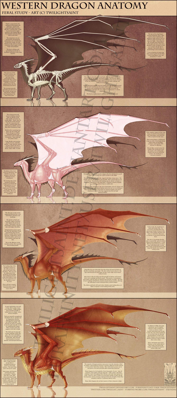 Reference - Western Dragon Anatomy — Weasyl